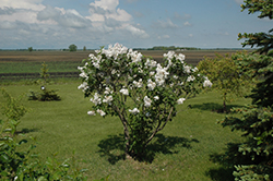 Beauty of Moscow Lilac (Syringa vulgaris 'Beauty of Moscow') at Family Tree Nursery