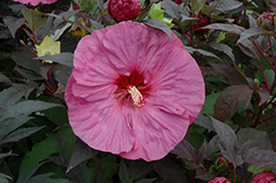 Summerific® Berry Awesome Hibiscus (Hibiscus 'Berry Awesome') at Family Tree Nursery