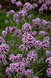 Meteor Shower Verbena (Verbena bonariensis 'Meteor Shower') at Family Tree Nursery