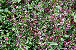 Summer Jewel Lavender Sage (Salvia 'Summer Jewel Lavender') at Family Tree Nursery