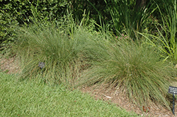 Regal Mist Muhly Grass (Muhlenbergia capillaris 'Lenca') at Family Tree Nursery