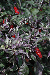 Calico Ornamental Pepper (Capsicum annuum 'Calico') at Family Tree Nursery