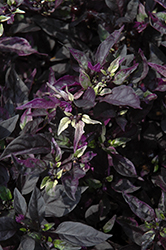 Purple Flash Ornamental Pepper (Capsicum annuum 'Purple Flash') at Family Tree Nursery