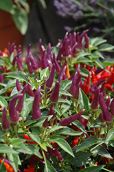 Sangria Ornamental Pepper (Capsicum annuum 'Sangria') at Family Tree Nursery