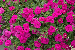 MiniFamous® Double Purple Calibrachoa (Calibrachoa 'MiniFamous Double Purple') at Family Tree Nursery