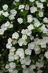 MiniFamous® Double Compact White Calibrachoa (Calibrachoa 'MiniFamous Double Compact White') at Family Tree Nursery