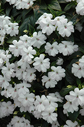 Big Bounce™ White Impatiens (Impatiens 'Balbigite') at Family Tree Nursery