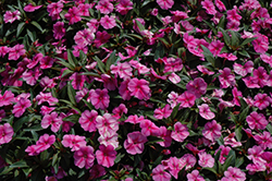 Bounce™ Pink Flame Impatiens (Impatiens 'Balboufink') at Family Tree Nursery