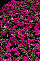 Bounce™ Violet Impatiens (Impatiens 'Balbouvio') at Family Tree Nursery