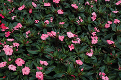 SunPatiens® Spreading Shell Pink New Guinea Impatiens (Impatiens 'SunPatiens Spreading Shell Pink') at Family Tree Nursery