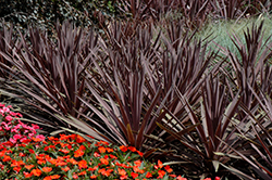 Red Sensation Grass Palm (Cordyline australis 'Red Sensation') at Family Tree Nursery