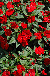 Divine™ Scarlet Red New Guinea Impatiens (Impatiens hawkeri 'Divine Scarlet Red') at Family Tree Nursery