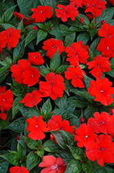 Divine™ Orange New Guinea Impatiens (Impatiens hawkeri 'Divine Orange') at Family Tree Nursery