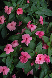 Divine™ Pink New Guinea Impatiens (Impatiens hawkeri 'Divine Pink') at Family Tree Nursery