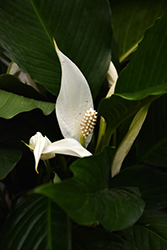 Peace Lily (Spathiphyllum wallisii) at Family Tree Nursery