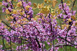 The Rising Sun Redbud (Cercis canadensis 'The Rising Sun') at Family Tree Nursery