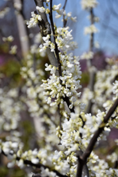 Royal White Redbud (Cercis canadensis 'Royal White') at Family Tree Nursery