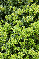 Soft Touch Japanese Holly (Ilex crenata 'Soft Touch') at Family Tree Nursery