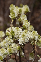 Mt. Airy Fothergilla (Fothergilla major 'Mt. Airy') at Family Tree Nursery