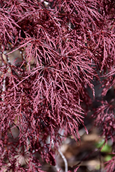 Red Filigree Lace Japanese Maple (Acer palmatum 'Red Filigree Lace') at Family Tree Nursery