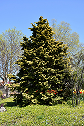 Confucius Hinoki Falsecypress (Chamaecyparis obtusa 'Confucius') at Family Tree Nursery