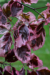 Tricolor Beech (Fagus sylvatica 'Roseomarginata') at Family Tree Nursery