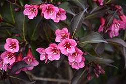 Wine and Roses® Weigela (Weigela florida 'Alexandra') at Family Tree Nursery