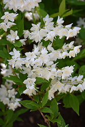 Chardonnay Pearls® Deutzia (Deutzia gracilis 'Duncan') at Family Tree Nursery