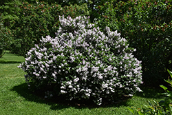 Miss Kim Lilac (Syringa patula 'Miss Kim') at Family Tree Nursery