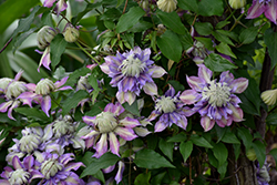 Diamantina Clematis (Clematis 'Diamantina') at Family Tree Nursery
