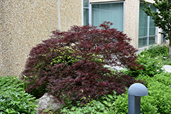 Red Dragon Japanese Maple (Acer palmatum 'Red Dragon') at Family Tree Nursery