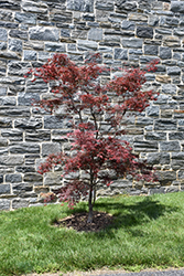 Red Spider Japanese Maple (Acer palmatum 'Red Spider') at Family Tree Nursery