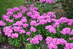 Pink Flame Garden Phlox (Phlox paniculata 'Pink Flame') at Family Tree Nursery