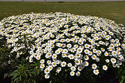 Becky Shasta Daisy (Leucanthemum x superbum 'Becky') at Family Tree Nursery
