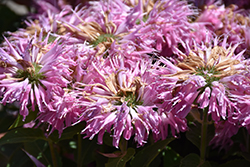 Grand Mum Beebalm (Monarda 'MCmum') at Family Tree Nursery