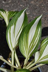 Cool As A Cucumber Hosta (Hosta 'Cool As A Cucumber') at Family Tree Nursery