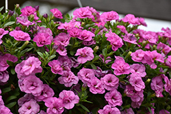 MiniFamous® Double Pink Calibrachoa (Calibrachoa 'MiniFamous Double Pink') at Family Tree Nursery