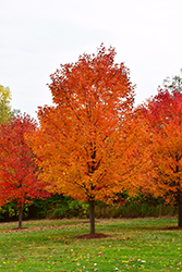 Commemoration Sugar Maple (Acer saccharum 'Commemoration') at Family Tree Nursery
