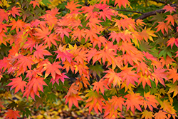 Japanese Maple (Acer palmatum) at Family Tree Nursery