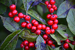 Berry Nice® Winterberry (Ilex verticillata 'Spriber') at Family Tree Nursery