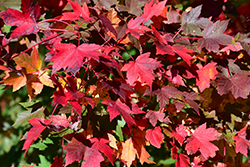 Redpointe Red Maple (Acer rubrum 'Redpointe') at Family Tree Nursery