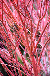 Coral Bark Japanese Maple (Acer palmatum 'Sango Kaku') at Family Tree Nursery