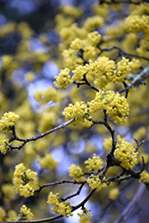 Cornelian Cherry Dogwood (Cornus mas) at Family Tree Nursery