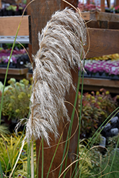 Ivory Feathers® Pampas Grass (Cortaderia selloana 'Pumila') at Family Tree Nursery