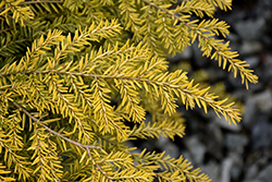 Golden Duchess® Hemlock (Tsuga canadensis 'MonKinn') at Family Tree Nursery