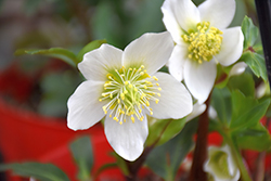 Gold Collection® Jacob Hellebore (Helleborus niger 'Jacob') at Family Tree Nursery