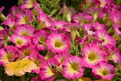 Supertunia® Daybreak Charm Petunia (Petunia 'USTUN69002') at Family Tree Nursery