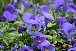 Cool Wave® Blue Skies Pansy (Viola x wittrockiana 'PAS1077345') at Family Tree Nursery