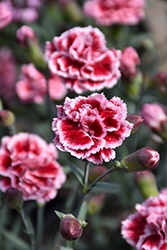 Scent First® Sugar Plum Pinks (Dianthus 'WP IAN04') at Family Tree Nursery