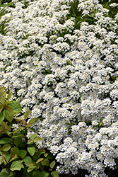 Candytuft (Iberis sempervirens) at Family Tree Nursery